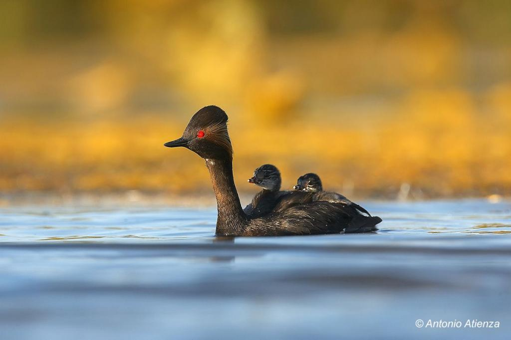 Pollution in the Odiel Marshes: a trap for the black-necked grebe