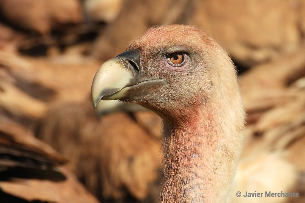 Do vultures attack livestock? This is what science says